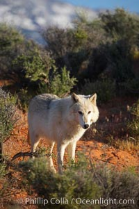 Gray wolf, Canis lupus