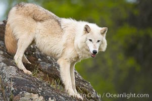 Gray wolf, Sierra Nevada foothills, Mariposa, California., Canis lupus, natural history stock photograph, photo id 16024