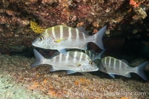 Graybar Grunt, Haemulon sexfasciatum, Sea of Cortez, Isla San Francisquito, Baja California, Mexico