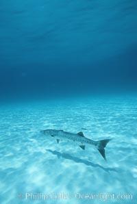 Great barracuda. Bahamas, Sphyraena barracuda, natural history stock photograph, photo id 05213