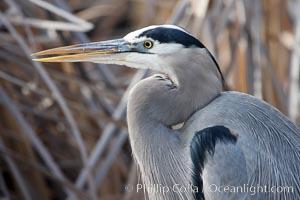 Great blue heron, Bosque del Apache National Wildlife Refuge