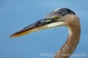 Great blue heron, head detail. Santee Lakes, Santee, California, USA, Ardea herodias, natural history stock photograph, photo id 23395