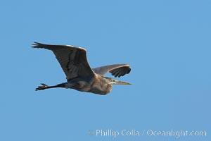 Great blue heron, Ardea herodias, La Jolla, California
