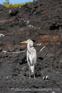 Great blue heron on lava rocks at oceans edge, Punta Albemarle, Ardea herodias, Isabella Island