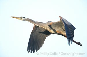 Great blue heron in flight, Ardea herodias, Batiquitos Lagoon, Carlsbad, California