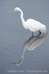 Great egret (white egret). Upper Newport Bay Ecological Reserve, Newport Beach, California, USA, Ardea alba, natural history stock photograph, photo id 15657