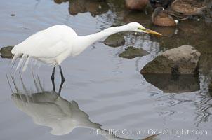 Great egret (white egret), Ardea alba, Upper Newport Bay Ecological Reserve, Newport Beach, California