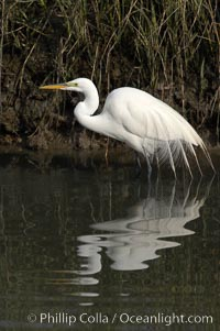 Great egret (white egret), Ardea alba, Upper Newport Bay Ecological Reserve, Newport Beach, California