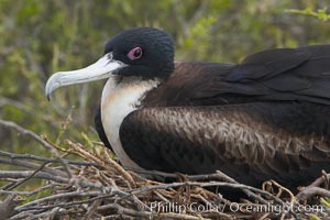 Great frigatebird, adult female, at the nest. North Seymour Island, Fregata minor