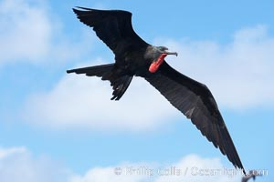 Great frigatebird, adult male, in flight, green iridescence of scapular feathers identifying species.  Wolf Island, Fregata minor