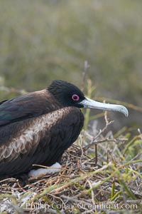 Great frigatebird, adult female with chick (just visible), at the nest. North Seymour Island, Fregata minor