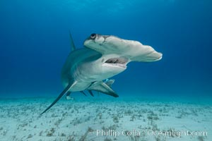 Great hammerhead shark. Bimini, Bahamas, Sphyrna mokarran, natural history stock photograph, photo id 31966