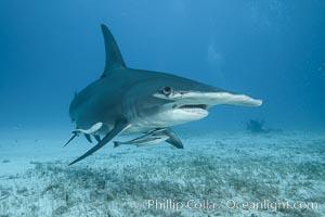 Great hammerhead shark. Bimini, Bahamas, Sphyrna mokarran, natural history stock photograph, photo id 31969