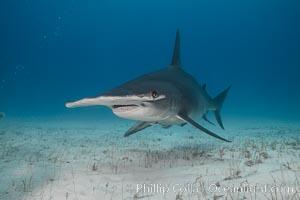 Great hammerhead shark. Bimini, Bahamas, Sphyrna mokarran, natural history stock photograph, photo id 31970