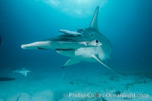 Great hammerhead shark. Bimini, Bahamas, Sphyrna mokarran, natural history stock photograph, photo id 31971