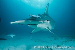 Great hammerhead shark, Sphyrna mokarran