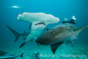 Great hammerhead shark and nurse shark. Bimini, Bahamas, Ginglymostoma cirratum, natural history stock photograph, photo id 31973