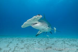 Great hammerhead shark. Bimini, Bahamas, Sphyrna mokarran, natural history stock photograph, photo id 31974