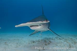 Great hammerhead shark. Bimini, Bahamas, Sphyrna mokarran, natural history stock photograph, photo id 31975