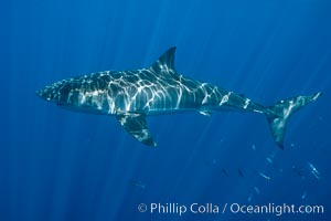 Great white shark, research identification photograph.  A great white shark is countershaded, with a dark gray dorsal color and light gray to white underside, making it more difficult for the shark's prey to see it as approaches from above or below in the water column. The particular undulations of the countershading line along its side, where gray meets white, is unique to each shark and helps researchers to identify individual sharks in capture-recapture studies. Guadalupe Island is host to a relatively large population of great white sharks who, through a history of video and photographs showing their countershading lines, are the subject of an ongoing study of shark behaviour, migration and population size, Carcharodon carcharias, Guadalupe Island (Isla Guadalupe)