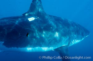 A great white shark bearing a white plastic researcher&#39;s identification ID tag near its dorsal fin swims through the clear waters of Isla Guadalupe, far offshore of the Pacific Coast of Baja California.  Guadalupe Island is host to a concentration of large great white sharks, which visit the island to feed on pinnipeds and tuna, Carcharodon carcharias, Guadalupe Island (Isla Guadalupe)