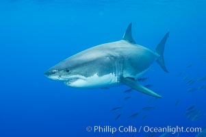 A great white shark underwater.  A large great white shark cruises the clear oceanic waters of Guadalupe Island (Isla Guadalupe), Carcharodon carcharias