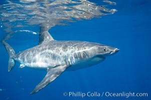 A great white shark swims through the clear waters of Isla Guadalupe, far offshore of the Pacific Coast of Mexico's Baja California. Guadalupe Island is host to a concentration of large great white sharks, which visit the island to feed on pinnipeds and use it as a staging area before journeying farther into the Pacific ocean, Carcharodon carcharias, Guadalupe Island (Isla Guadalupe)