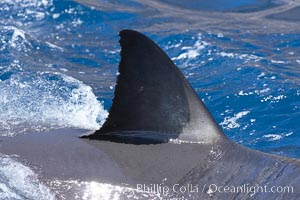 Dorsal fin of a great white shark breaks the surface as the shark swims just below, Carcharodon carcharias, Guadalupe Island (Isla Guadalupe)