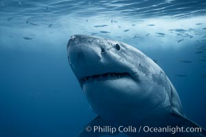Great white shark, underwater. Guadalupe Island (Isla Guadalupe), Baja California, Mexico, Carcharodon carcharias, natural history stock photograph, photo id 21360