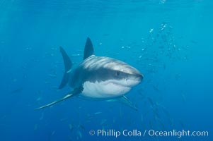 A great white shark underwater.  A large great white shark cruises the clear oceanic waters of Guadalupe Island (Isla Guadalupe). Guadalupe Island (Isla Guadalupe), Baja California, Mexico, Carcharodon carcharias, natural history stock photograph, photo id 10110