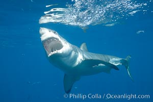 A great white shark opens it mouth just before it attacks its prey with a crippling, powerful bite.  After the prey has been disabled, the shark will often wait for it to weaken from blood loss before resuming the attack.  If the shark looses a tooth in the course of the bite, a replacement just behind it will move forward to take its place, Carcharodon carcharias, Guadalupe Island (Isla Guadalupe)
