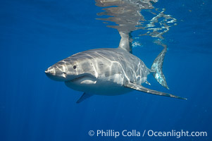 Spectacular pictures of great white sharks from Baja California, Mexico, stemming from about 15 trips to remote Guadalupe Island.