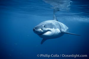 A great white shark swims underwater through the ocean at Guadalupe Island. Guadalupe Island (Isla Guadalupe), Baja California, Mexico, Carcharodon carcharias, natural history stock photograph, photo id 21346