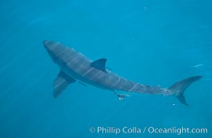 A great white shark swims just below the rippled ocean surface of Isla Guadalupe, far offshore of the Pacific Coast of Baja California, Carcharodon carcharias, Guadalupe Island (Isla Guadalupe)