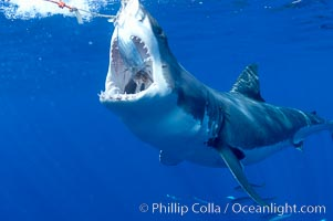 A great white shark lunges to chomp a piece of bait hanging amid the clear waters of Isla Guadalupe, far offshore of the Pacific Coast of Baja California.  Guadalupe Island is host to a concentration of large great white sharks, which visit the island to feed on pinnipeds and tuna, Carcharodon carcharias, Guadalupe Island (Isla Guadalupe)
