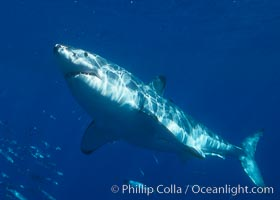 A great white shark swims through the clear waters of Isla Guadalupe, far offshore of the Pacific Coast of Baja California.  Guadalupe Island is host to a concentration of large great white sharks, which visit the island to feed on pinnipeds and tuna, Carcharodon carcharias, Guadalupe Island (Isla Guadalupe)