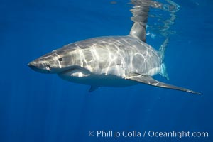 A great white shark is countershaded, with a dark gray dorsal color and light gray to white underside, making it more difficult for the shark&#39;s prey to see it as approaches from above or below in the water column.  The particular undulations of the countershading line along its side, where gray meets white, is unique to each shark and helps researchers to identify individual sharks in capture-recapture studies. Guadalupe Island is host to a relatively large population of great white sharks who, through a history of video and photographs showing their  countershading lines, are the subject of an ongoing study of shark behaviour, migration and population size, Carcharodon carcharias, Guadalupe Island (Isla Guadalupe)