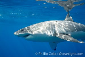 A great white shark is countershaded, with a dark gray dorsal color and light gray to white underside, making it more difficult for the shark's prey to see it as approaches from above or below in the water column.  The particular undulations of the countershading line along its side, where gray meets white, is unique to each shark and helps researchers to identify individual sharks in capture-recapture studies. Guadalupe Island is host to a relatively large population of great white sharks who, through a history of video and photographs showing their  countershading lines, are the subject of an ongoing study of shark behaviour, migration and population size. Guadalupe Island (Isla Guadalupe), Baja California, Mexico, Carcharodon carcharias, natural history stock photograph, photo id 19456
