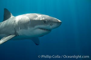 A great white shark swims toward the photographer.  Perhaps the shark is considering him as possible prey?  The photographer, a &#34;shark diver&#34; is safely situated in a sturdy metal cage.  The best  location in the world to &#34;shark dive&#34; to view great white sharks is Mexico&#39;s Guadalupe Island, Carcharodon carcharias, Guadalupe Island (Isla Guadalupe)