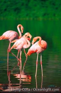 Greater flamingo, Phoenicopterus ruber, Floreana Island