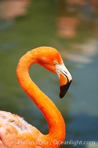Caribbean flamingo, Phoenicopterus ruber