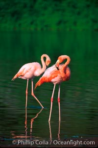 Greater flamingo. Floreana Island, Galapagos Islands, Ecuador, Phoenicopterus ruber, natural history stock photograph, photo id 02279