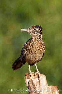Greater roadrunner. Amado, Arizona, USA, Geococcyx californianus, natural history stock photograph, photo id 22902