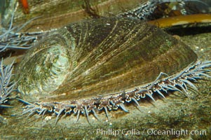 Green abalone with mantle fringe visible extending outside shell, Haliotis fulgens