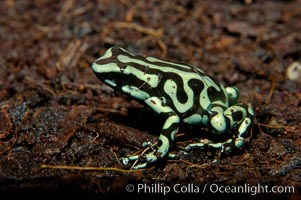 Green and black poison dart frog, native to Central and South America, Dendrobates auratus