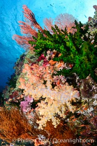 Green fan coral and dendronephthya soft corals on pristine reef, both extending polyps into ocean currents to capture passing plankton, Fiji, Dendronephthya, Tubastrea micrantha