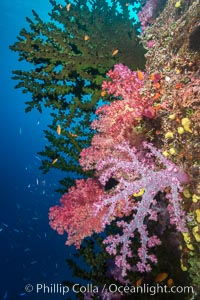 Green fan coral and dendronephthya soft corals on pristine reef, both extending polyps into ocean currents to capture passing plankton, Fiji, Dendronephthya, Tubastrea micrantha, Namena Marine Reserve, Namena Island