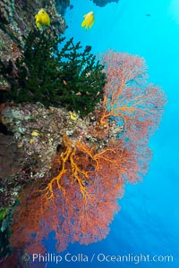 Green fan coral and sea fan gorgonians on pristine reef, both extending polyps into ocean currents to capture passing plankton, Fiji, Gorgonacea, Plexauridae, Wakaya Island, Lomaiviti Archipelago