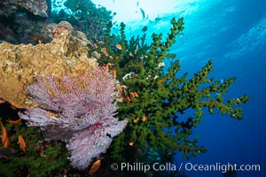 Green fan coral, anthias fishes and sea fan gorgonians on pristine reef,  Fiji, Gorgonacea, Tubastrea micrantha, Pseudanthias
