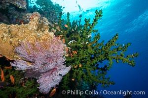 Green fan coral, anthias fishes and sea fan gorgonians on pristine reef,  Fiji, Gorgonacea, Tubastrea micrantha
